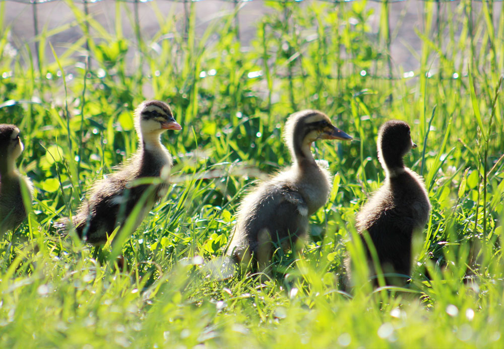 Enten frei in der Wiese