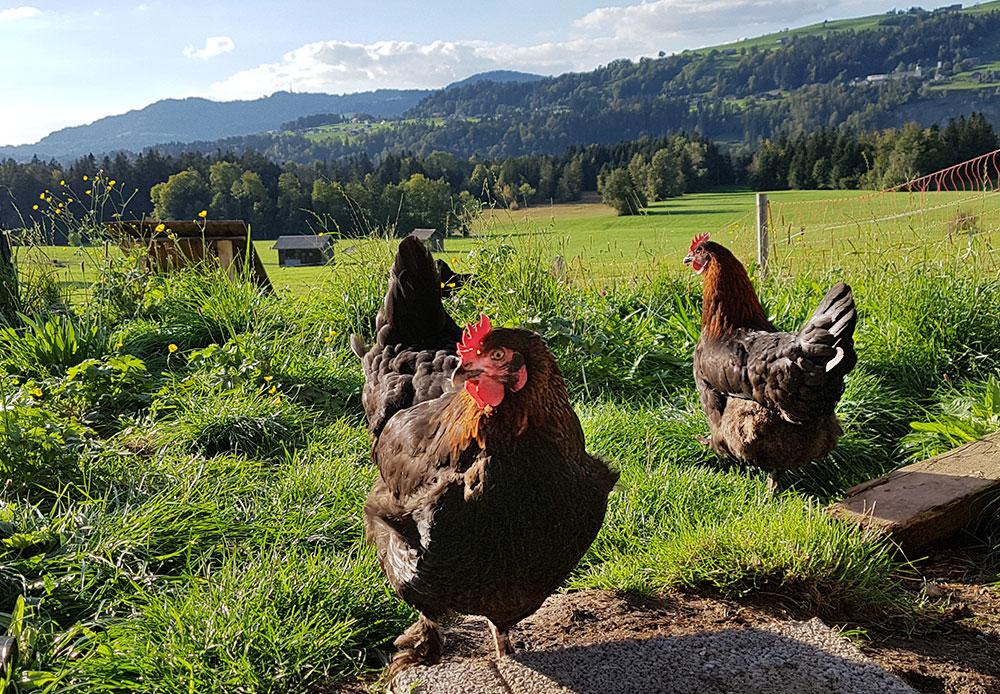 Freilaufende Hühner am Nahturhof