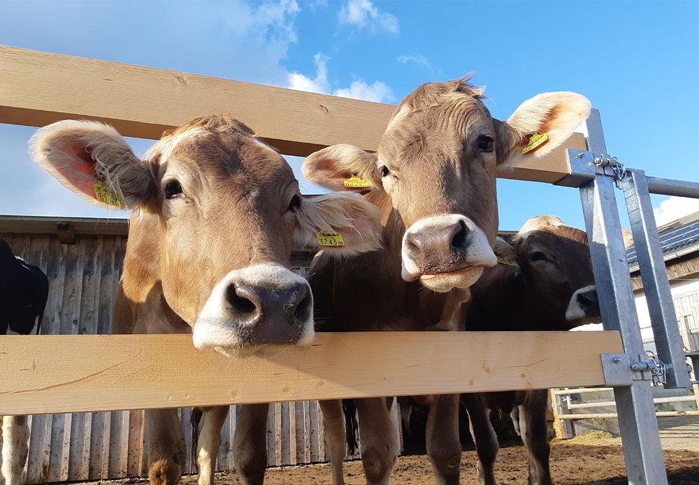 neugierige Kälber auf dem Bauernhof